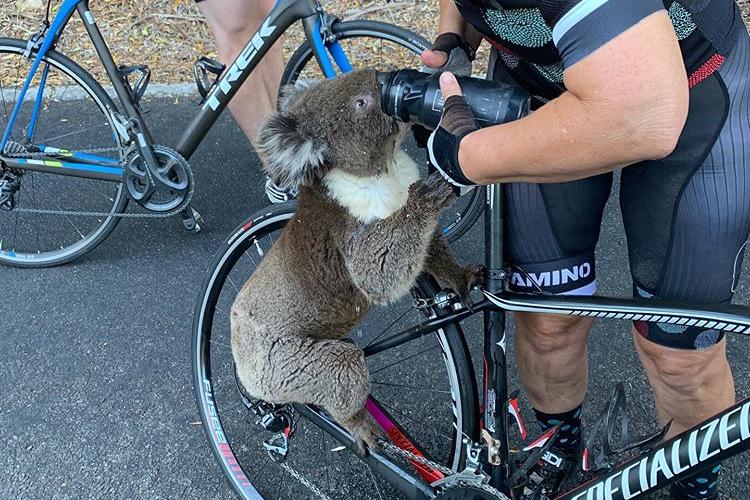 一見カワイイけど切ない・・・。猛烈な暑さでサイクリストに水を求めるコアラ