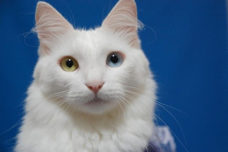 惹きつけられる猫の瞳「オッドアイ」とは?左右の瞳の色が異なる理由と生活リスクを解説