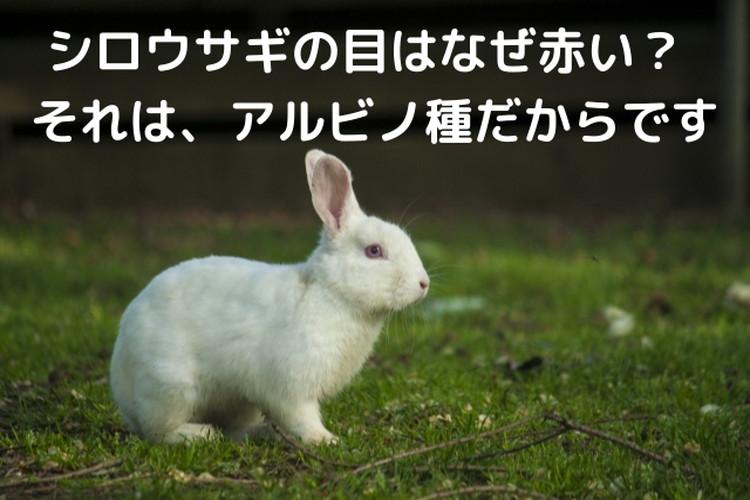 ウサギの目といったら赤い?いいえ、それはアルビノ種のシロウサギの特徴だったんです!