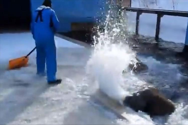 豪快に雪かきを手伝うおたる水族館のセイウチが話題に!「邪魔してるかと思ったら協力してたのね」