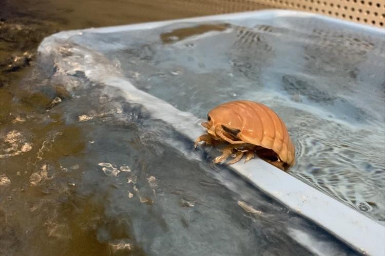 半身浴をしているようなオオグソクムシの姿が話題に!「割と可愛いんじゃないかと思えてきた」