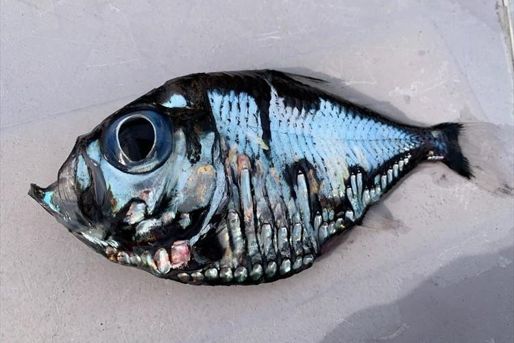 これってなんて魚ですか?とある漁港で取れたレアな深海魚が話題に!「キモカワコワイ・・」