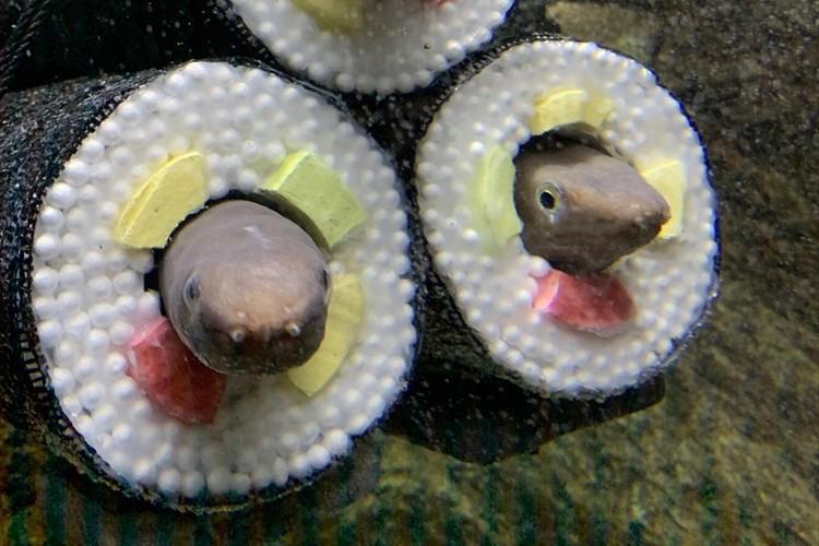 「この発想はなかった(笑)」仙台うみの杜水族館に『アナゴの恵方巻水槽』が登場して話題に!