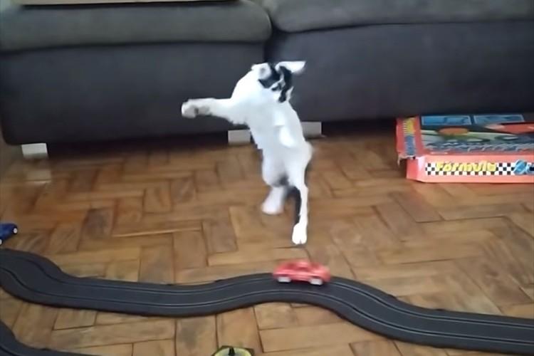 猛スピードでかっ飛ばすオモチャの車に大興奮!車を追ったり跳ねたりするニャンコが面白い!