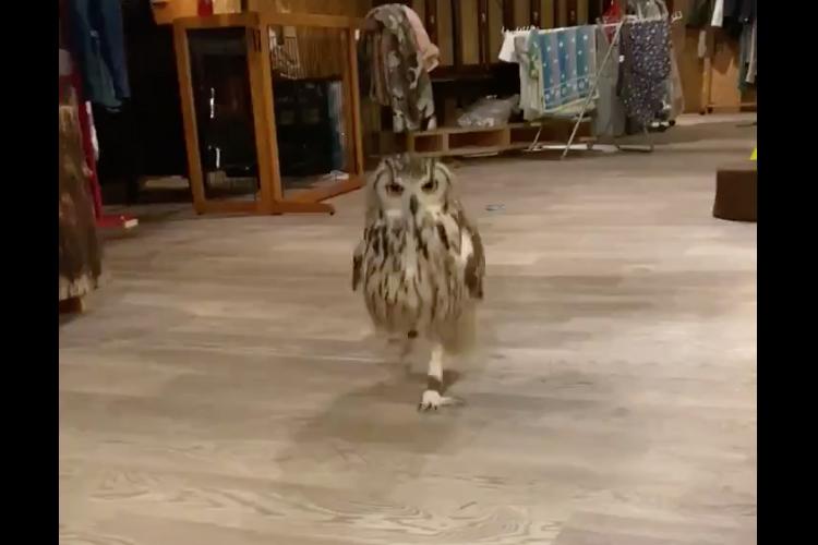 軽快なステップで歩くフクロウの姿がとにかく可愛い!スッと伸びた華奢な脚にも注目