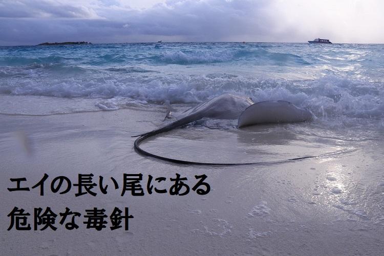 海をゆったり泳ぐ「エイ」、その尾には毒針があるから要注意!