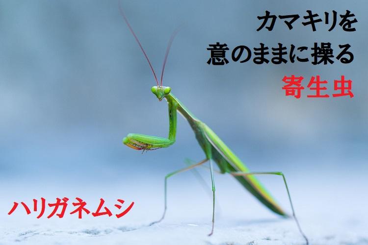 カマキリに宿る「ハリガネムシ」は、カマキリを死に導く恐怖の寄生虫!?