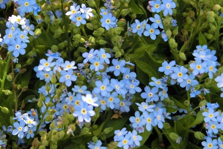 「勿忘草(ワスレナグサ)」の花言葉と名前の由来はドイツに伝わる悲恋伝説にまつわるものだった