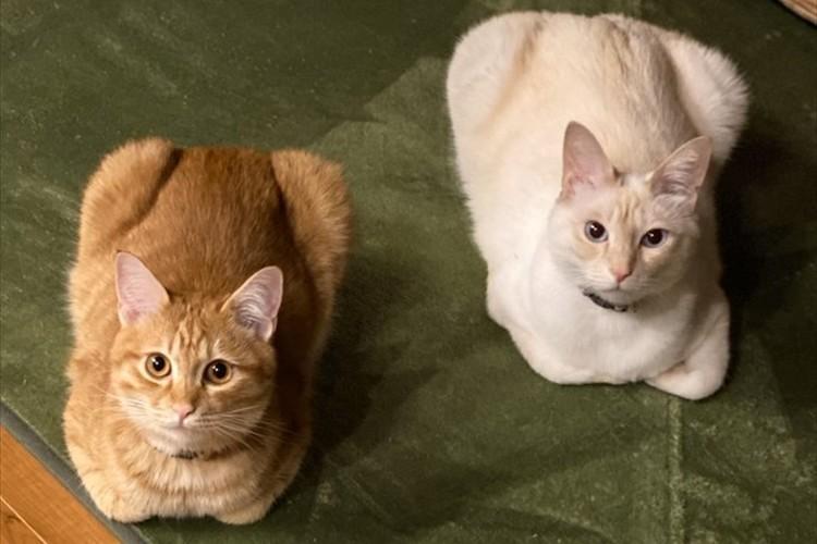 まるで食パンを焼く前と焼いた後のよう(笑)同じポーズをとる2匹のニャンコが話題に!