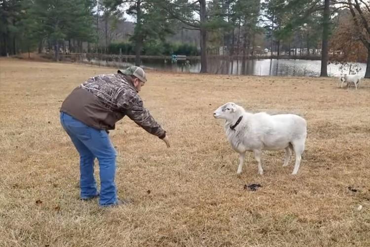 羊にお手をさせようと何度もトライするも無反応(笑)それでも粘っていると驚きの展開に!