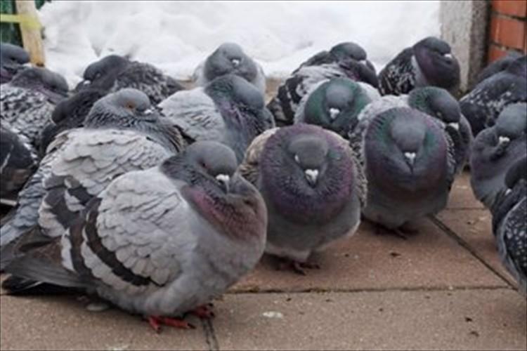 こんなにまんまるになるんだね!さっぽろ雪まつりで遭遇した防寒対策中のハトの群れが話題に
