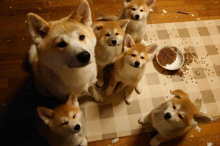 しょんぼり顔がそっくり(笑) いたずらして怒られる秋田犬の親子が可愛すぎる!