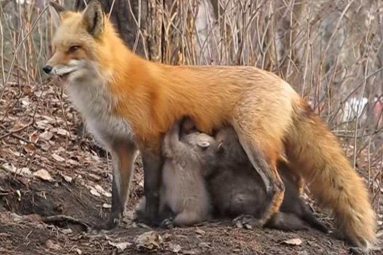 「感動的な瞬間でした」野生の母ギツネが異種動物の子たち?に授乳させる様子に遭遇!