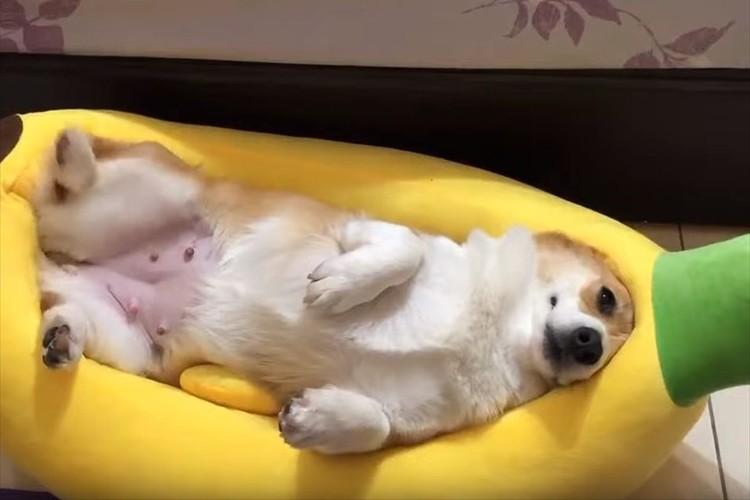 寝心地が最高だワン!体にぴったりのバナナ型ベッドでくつろぐコーギーが可愛すぎる!