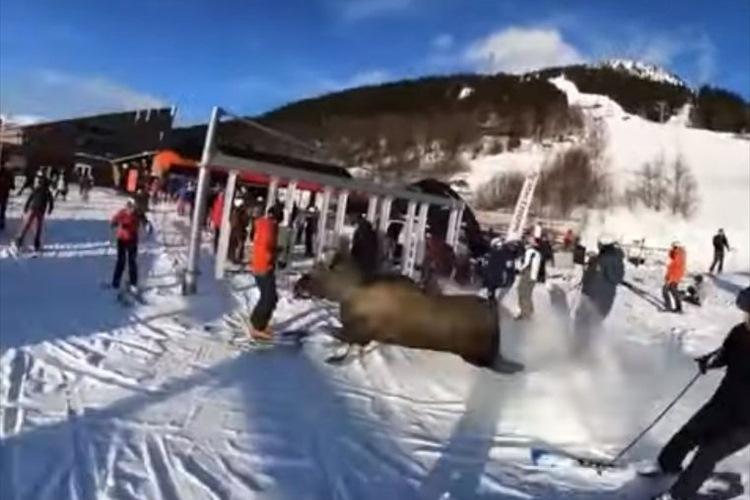 危ないっ!スキー場にヘラジカが凄まじい勢いで突っ込んでくるも、驚愕の身のこなしで惨事を回避!