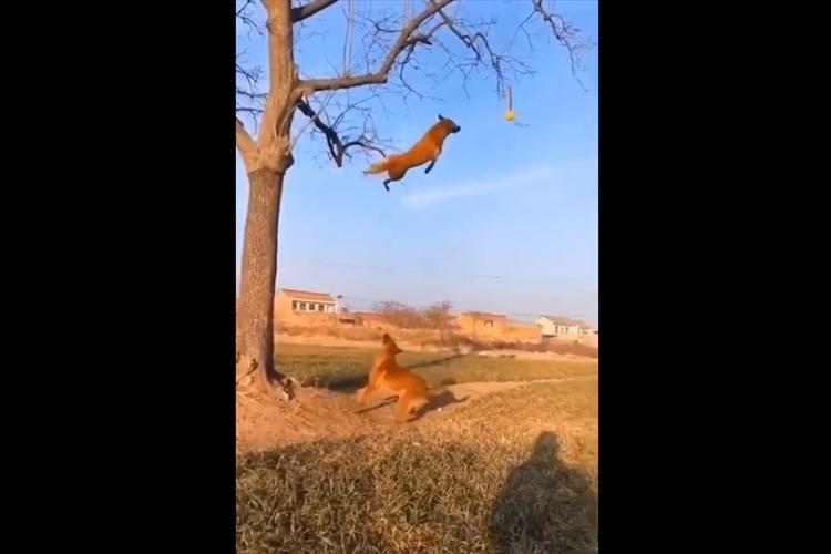 空飛ぶワンコ!?木の枝にぶら下がったボールをキャッチするワンコの身体能力が凄すぎ!