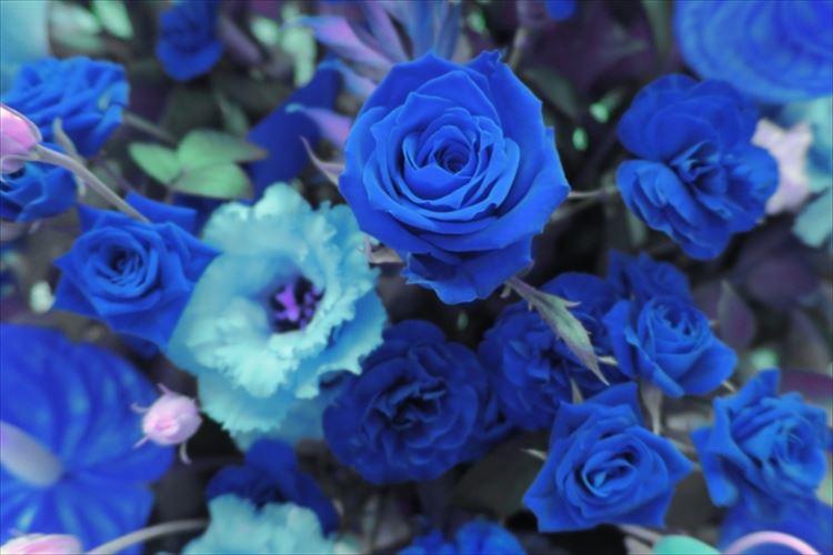 青いバラの花言葉が「不可能」から「夢が叶う」に変わった理由を知っていますか?