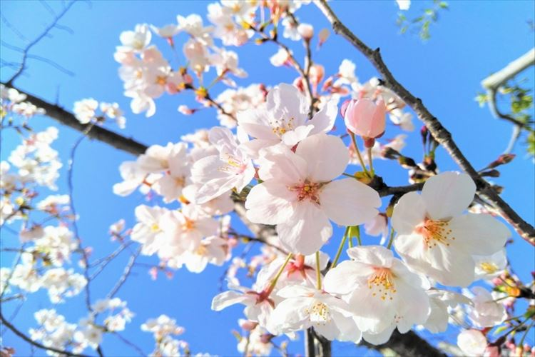 春の風物詩・桜を代表する「ソメイヨシノ」は全てクローンだった!?だからこそ生まれる桜前線