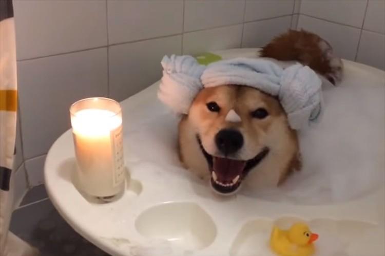 笑顔はプライスレス!バスタイムを楽しむ柴犬が可愛すぎる。体を乾かす時は大回転(笑)