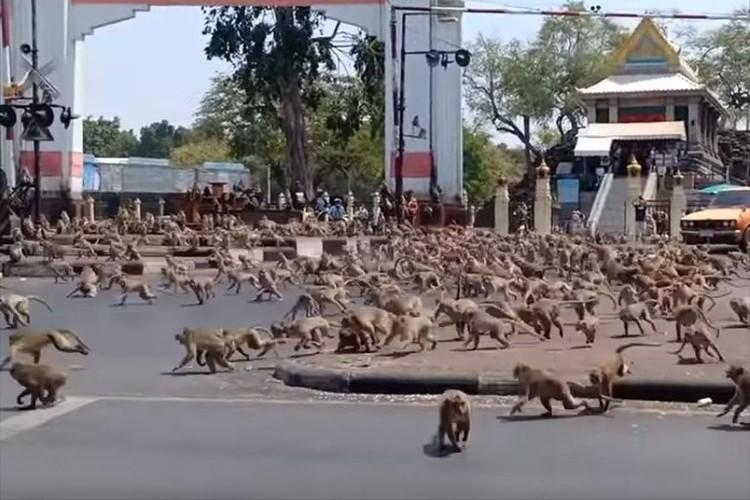 動物園ではありません。観光客が減った影響?で無数のサルが街頭に出現