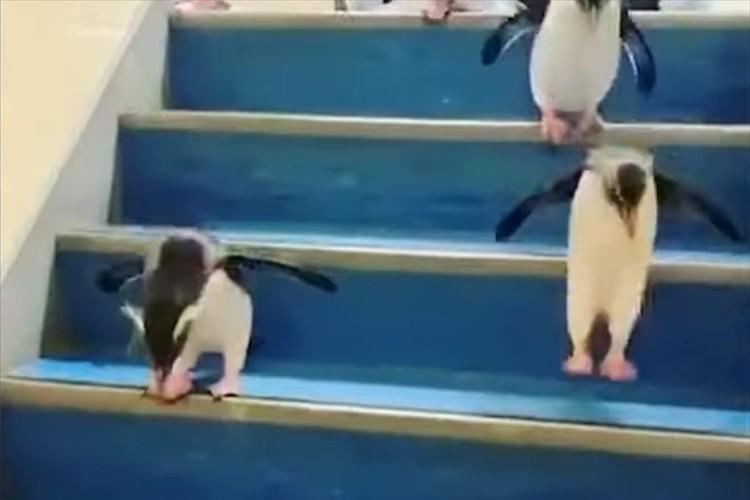 よちよちぺたぺたと階段を降りるペンギンの群れが可愛すぎる!意外とみんな慎重だった