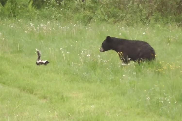 スカンクの分泌液がいかに臭いかが分かる!強烈なニオイでクマをあっさりと撃退した瞬間