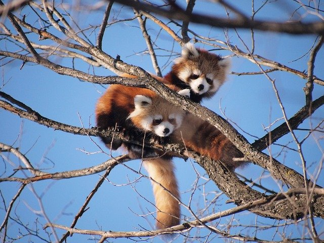 レッサーパンダは漢字で「小熊猫」パンダは「大熊猫」、2種の動物の不思議な関係を紹介