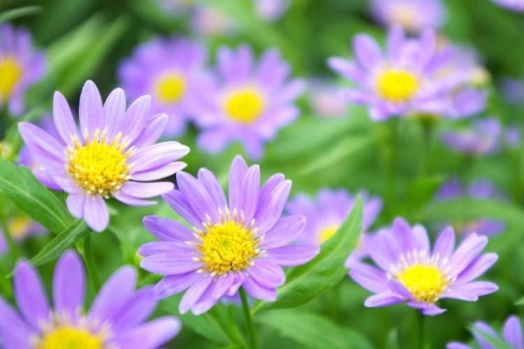 ミヤコワスレの花言葉はなに?花言葉と名前の由来には悲壮な逸話があった