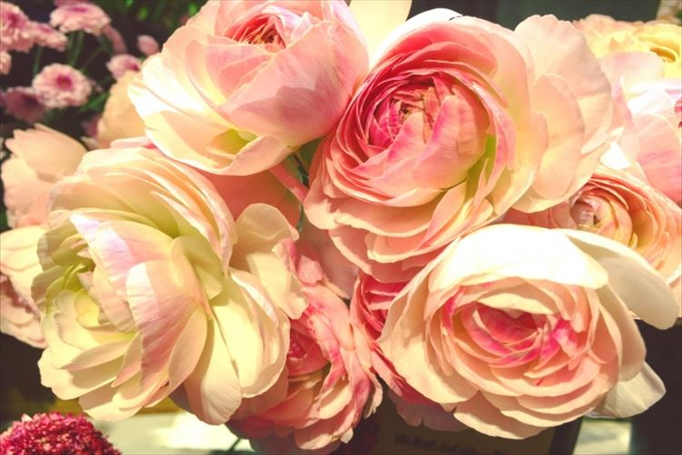 ラナンキュラスの花言葉はなに?春にバラにも似た大輪を咲かせる花