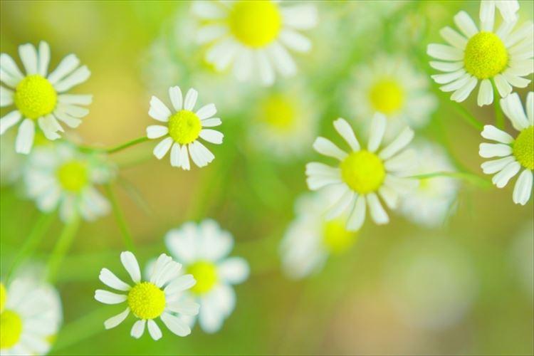 カモミールの花言葉は?世界最古のハーブには力強い花言葉があった!