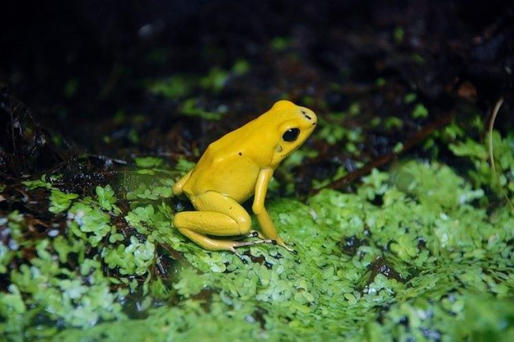 可愛い姿をしているのにそんなまさか!世界一の猛毒ガエル「モウドクフキヤガエル」