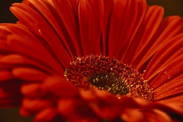 ガーベラの花言葉は?ガーベラを贈る際は本数と赤い色に気を付けて!