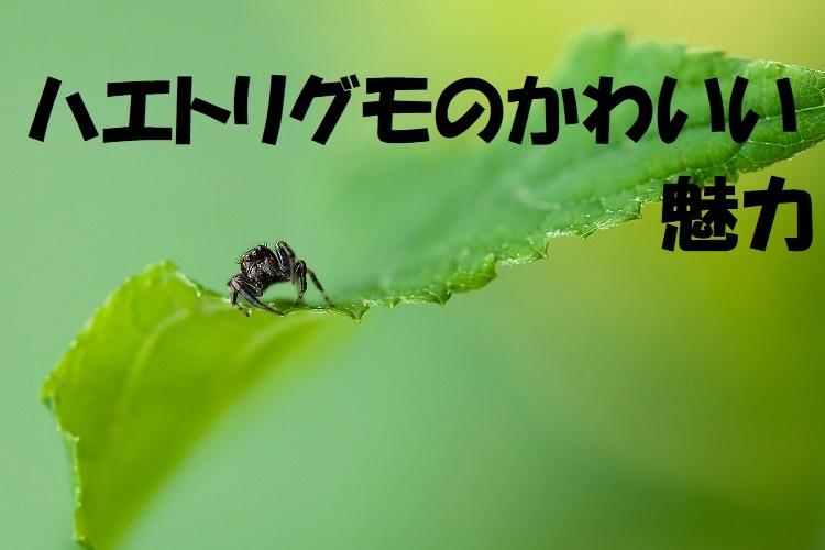 クモなのにもしかして可愛い!?ハエトリグモの魅力をご紹介!