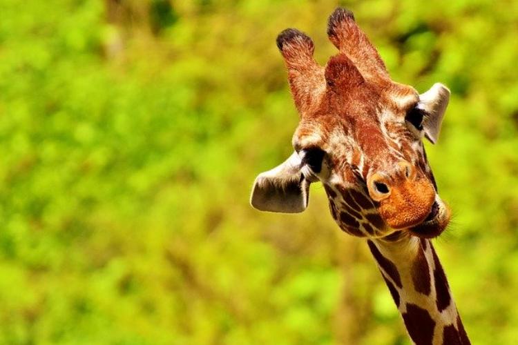 キリンの鳴き声を聞いたことある?その声はあの動物とそっくりだった!