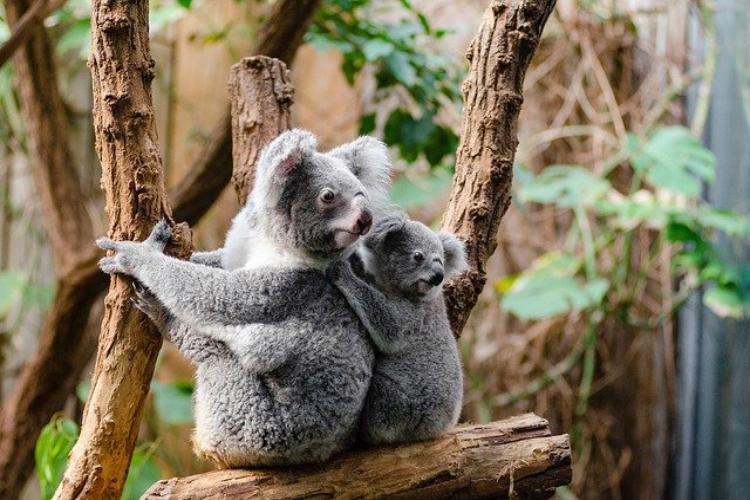 コアラの鳴き声は?可愛い姿からは想像もつかないその鳴き声にビックリ!