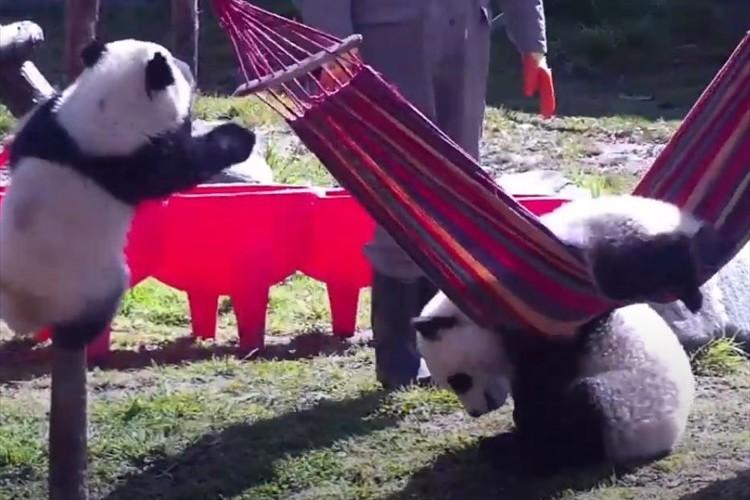 子パンダたちがハンモックでヨガに挑戦するも、足を引っ張り合う事態に(笑)