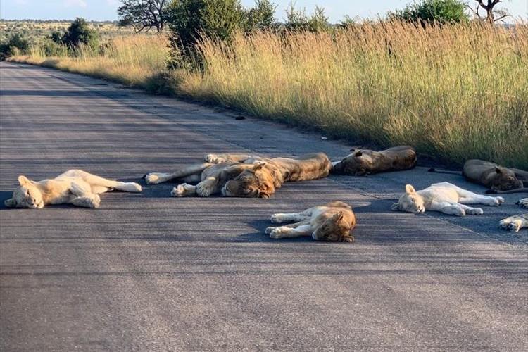 ロックダウンで観光客が姿を消した国立公園で、ライオンたちがのびのびとお昼寝