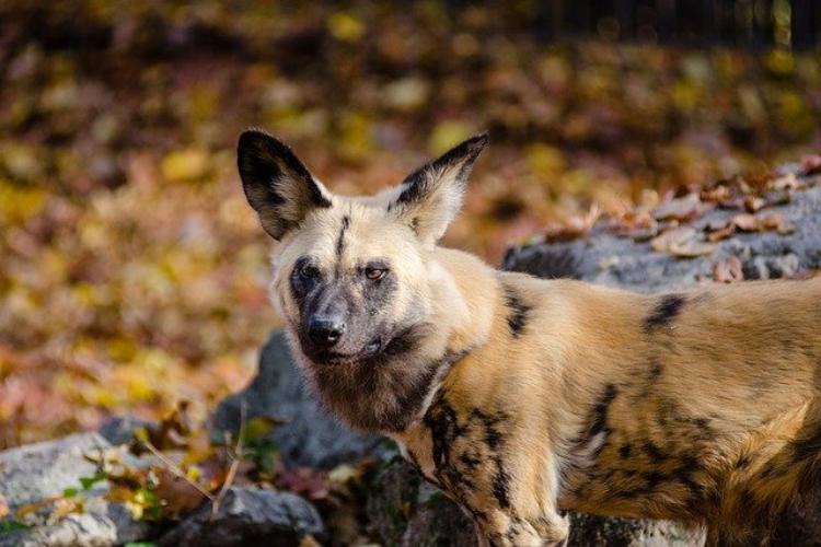 アフリカ一のハンター「リカオン」はマイナーな動物だけど狩猟能力がスゴい!