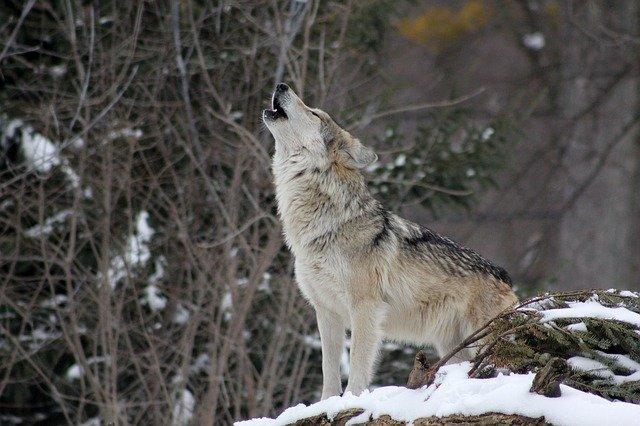 狼はなぜ遠吠えをするの?野性的本能ではなくしっかりとした目的があった
