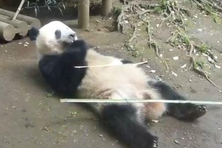 パンダの筋力すごい!目を閉じて美味しそうに寝食いするシャンシャンの姿が話題に