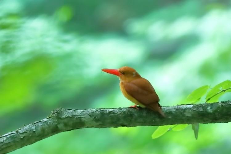 燃えるような赤い姿をしたアカショウビン。火の鳥や雨乞鳥という対極にあたる別名も