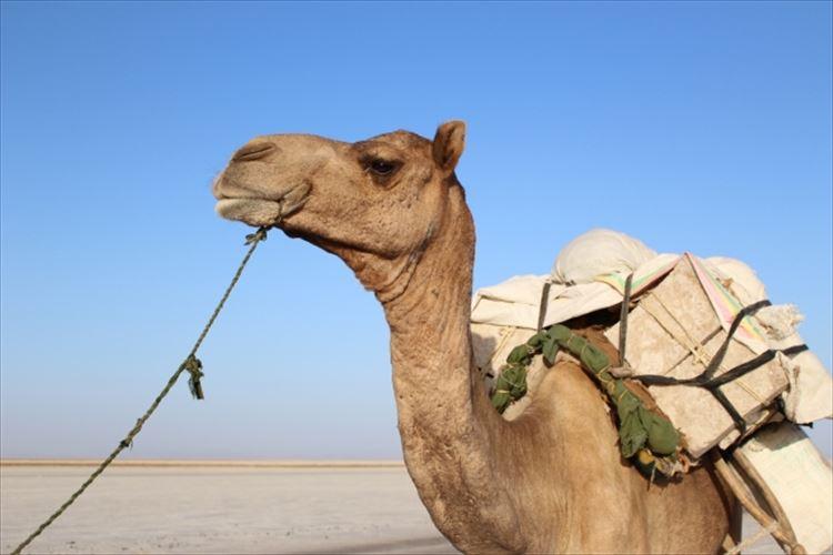 ラクダのこぶの中身を知ってる?砂漠で生きられる凄い動物!
