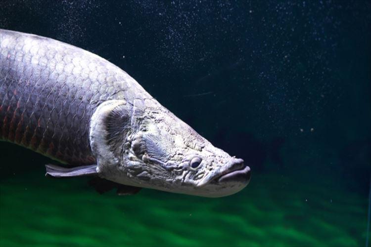 世界最大の淡水魚ピラルクー、その大きさは尋常じゃなかった!
