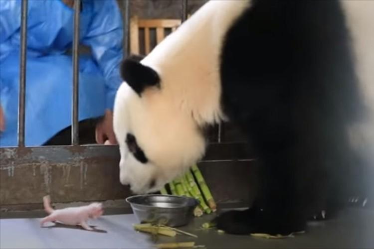 コロコロ成長する子パンダ&モフモフ子育てに奮闘する母パンダが可愛すぎる!