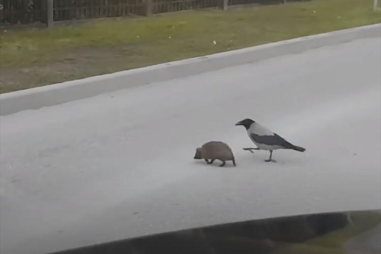 「早く渡らないと轢かれるよ!」カラスが路上で立ち止まるハリネズミを突っついて誘導