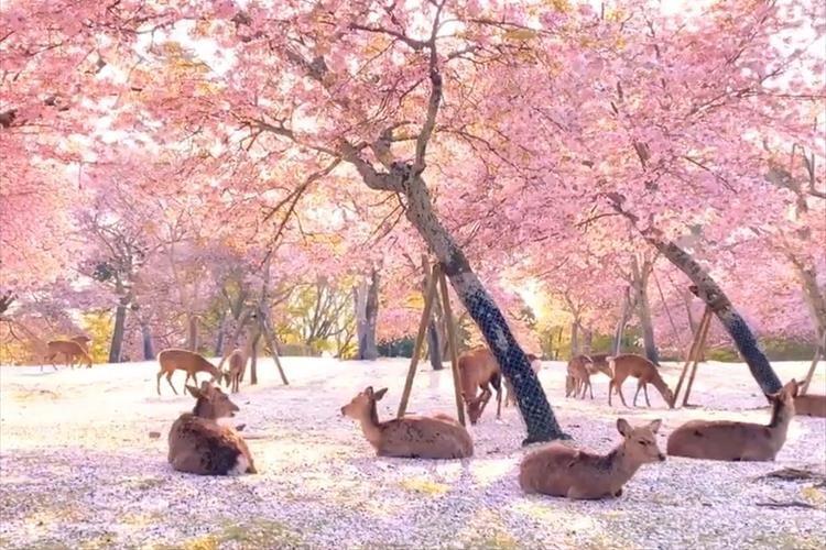 桜の花びらが敷き詰められた奈良公園の動画に反響「桃源郷って本当にあるんですね」