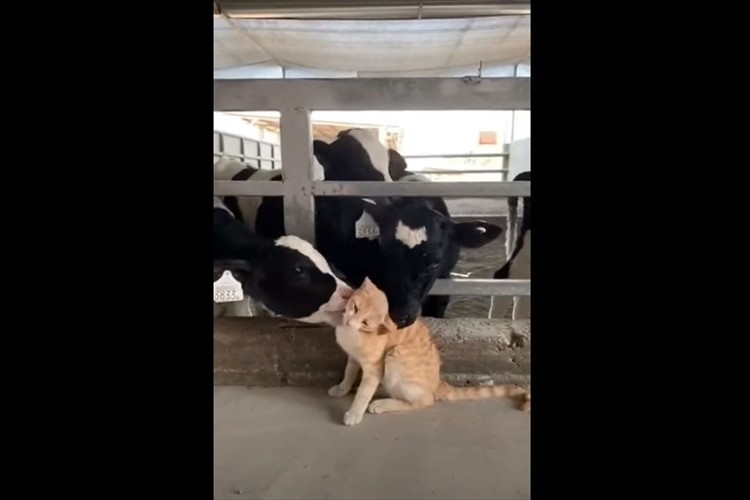 牛がニャンコの全身をグルーミング。徐々に牛の数が増えていき凄いことに(笑)