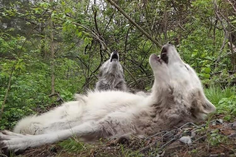 眠くて仕方がないけれど・・・仲間の遠吠えには律儀にこたえるオオカミたちが愛おしい