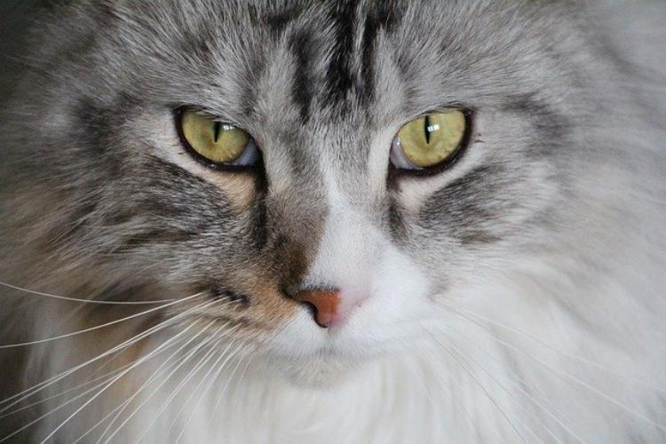 世界最大の猫はどんな猫?ネコ科最大の動物やイエネコ最大の猫を紹介
