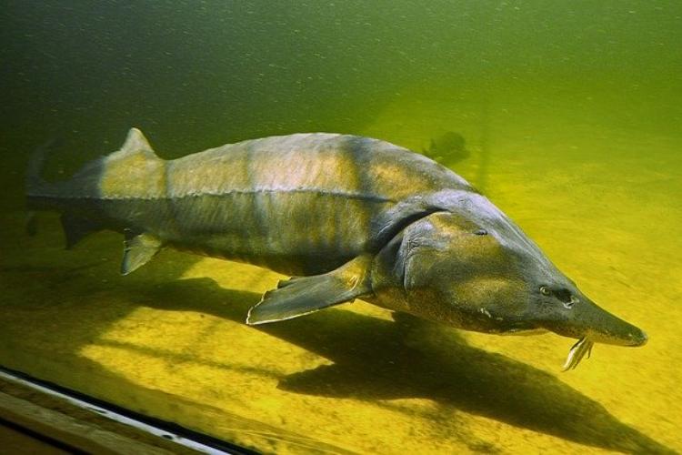 キャビアで知られる「チョウザメ」ってどんな生き物?実はサメではないってホント?